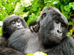 4 MP Virunga Animals02Gorillas copy