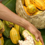 Beni_rare type of cacao