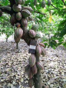 Tanzania_Cacao TreesIMG_20170728_150223 copy